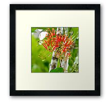 Flowering Queensland Firewheel Tree  Framed Print