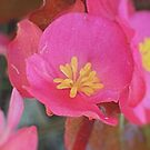 Tiny Pink Begonia by Erica Long