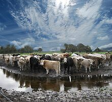 Steers and Clouds by Adrian Kent