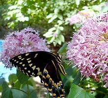 Giant Swallowtail Butterfly in profile by May Lattanzio