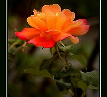 ORANGE SHERBERT ROSE by RoseMarie747