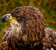 Young Bald Eagle by Sue Ratcliffe