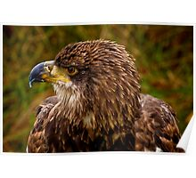 Young Bald Eagle Poster