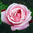 Rain Drops on Rose by Stephen Willmer