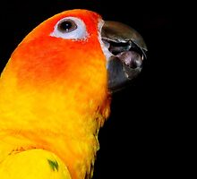 I'm, Singing In The Rain - Sun Conure! - NZ by AndreaEL