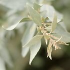 Atriplex cinerea, the tip by flaxlily