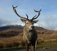 Scotish Stag Glencoe by Philip Evitt