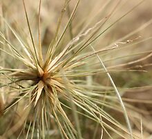 Spinifex sericeus by flaxlily