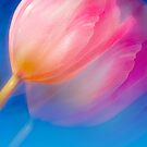 Tulip in blue by natans