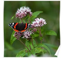 """The red admiral"" Poster"