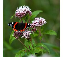 """""""The red admiral"""" Photographic Print"""