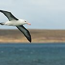 Black Browed Albatross by Craig Goldsmith