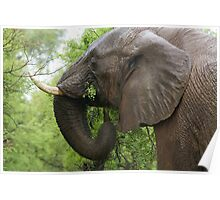 Elephant Browsing Poster