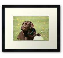 My Ball - Choc Lab Framed Print