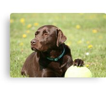 My Ball - Choc Lab Canvas Print