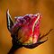 Rose bud  awaiting the thaw. by Karen  Betts
