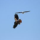 Red Tail Hawk and White Tailed Kite Together In Flight by DARRIN ALDRIDGE
