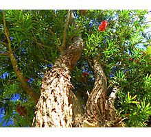 From the bottom of my trunk ... Bottle Brush Photographic Print