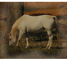 Little White Miss Grazing Photographic Print