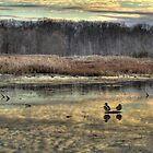 The Ducks at Huntley Meadows. by RICHARD CLINE