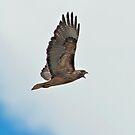 Indignant Hawk by David Friederich