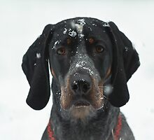 Blue tick CoonHound by j Kirk Photography                      Kirk Friederich