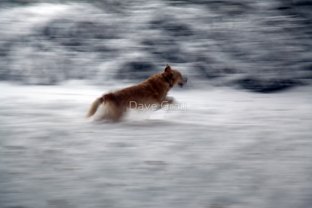 Retriever in the Snow by Dave Gray