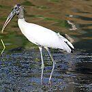 Wood stork 2 by jozi1