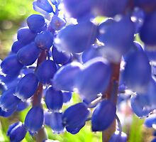 Grape Hyacinths by KathrynSylor