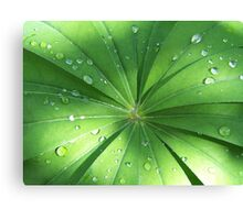 Lupin Leaves in the rain Canvas Print