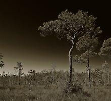 Pine Flatwoods by Frank Bibbins