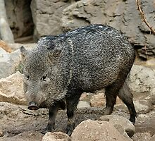 Adorable Peccary by cute-wildlife