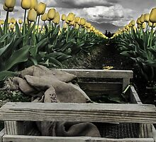 Tulips by Kristin Nelson