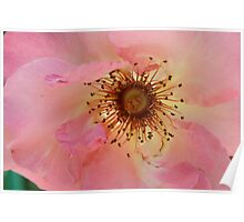 Pink Hughes, Monets Garden, France Poster