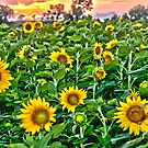 """""""Starry, Starry Fields"""" - sunflowers in bloom at sunset by ArtThatSmiles"""