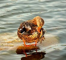 Duck Study 1 by dandefensor