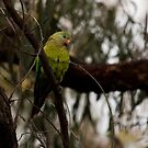 Juvenile superb parrot by tarnyacox