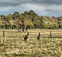 Roos in the top paddock by adbetron