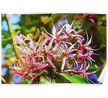 Cape Chestnut Tree Flower in Nairobi, KENYA Poster