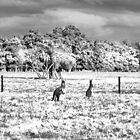 Roos in the top paddock B+W by Adrian Kent