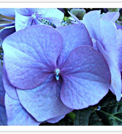 Blue Lacecap Hydrangea Macro Sticker