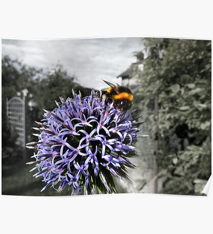 Bumble Bee on Globe Thistle Poster
