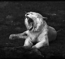Tiger showing teeth in black & white by Manfred Belau