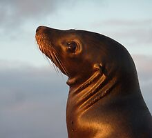 sealion at sunset by tripi100