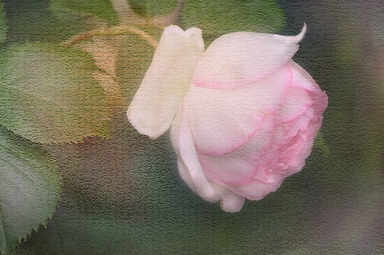 The pink Rose Card 2 by julie anne  grattan