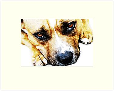 Bull Terrier Eyes by ArtPrints
