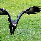 Eagle in Flight by Ian Lea