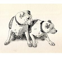 Two Bull Terriers Photographic Print
