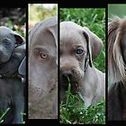 The Weimaraner - Gray Ghosts by Emma Hardcastle