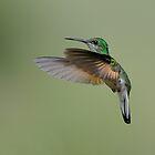 Female Stripe-tailed Hummingbird by Raymond J Barlow